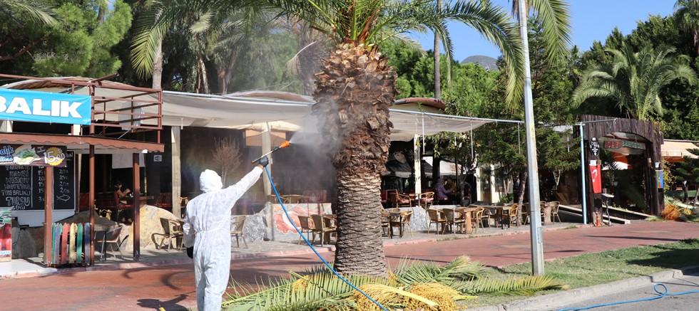 Alanya'da kırmızı palmiye böceğiyle mücadele başladı