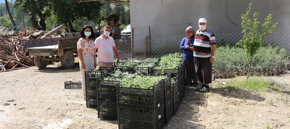 Büyükşehir'den Akseki'ye adaçayı fidesi desteği