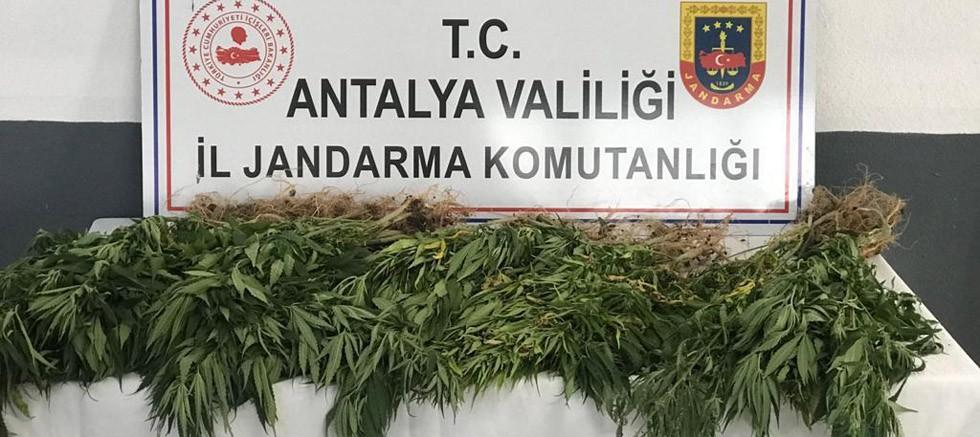 Gazipaşa'da 50 kök kenevir bitkisi ele geçirildi
