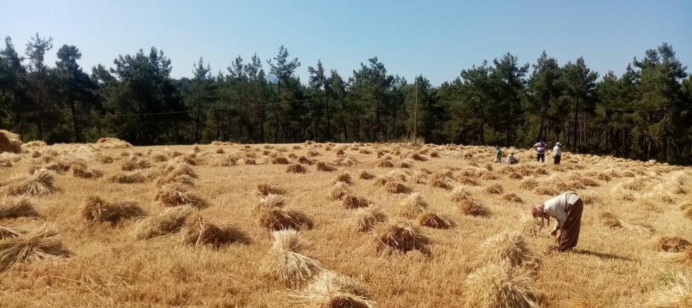 Gündoğmuş'ta Büyükşehir'in dağıttığı buğdaylar hasat edildi
