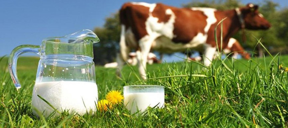 Kasım'da toplanan inek sütü miktarı arttı
