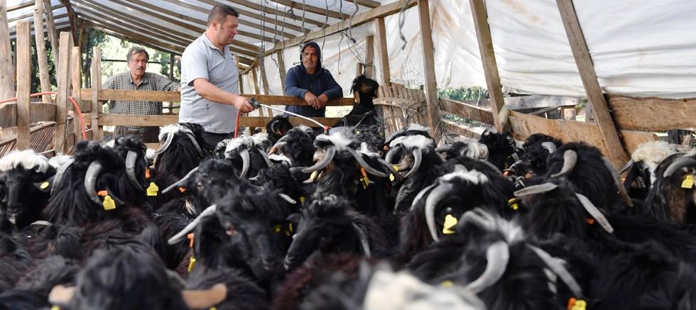 Konyaaltı Belediyesi'nden hayvan üreticilerine ilaçlama desteği